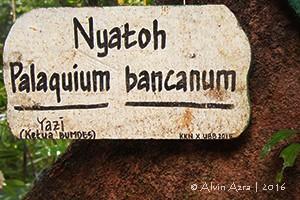 Kayu Nyatoh